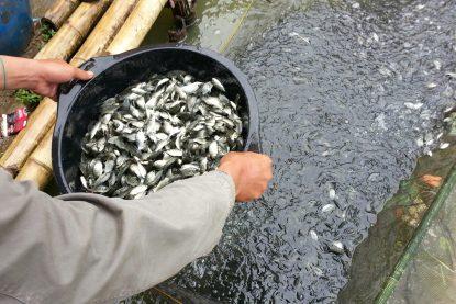 Panen Ikan Nila Sangkal Silet - Bungapadma Fish