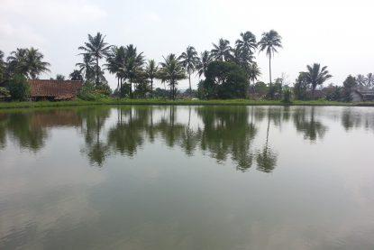 Kolam Pendederan Ikan Nila - Bungapadma Fish