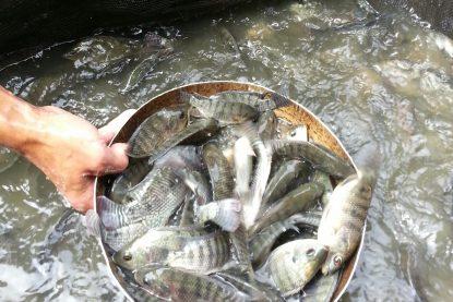 Calin Ikan Nila - Bungapadma Fish