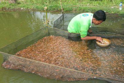 Sortir Benih Ikan Nila Merah