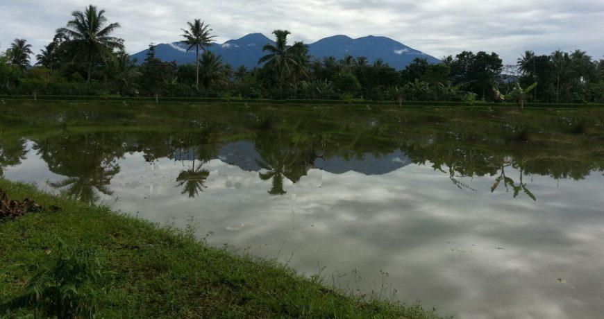 Kolam Ikan Nila - Bungapadma Fish