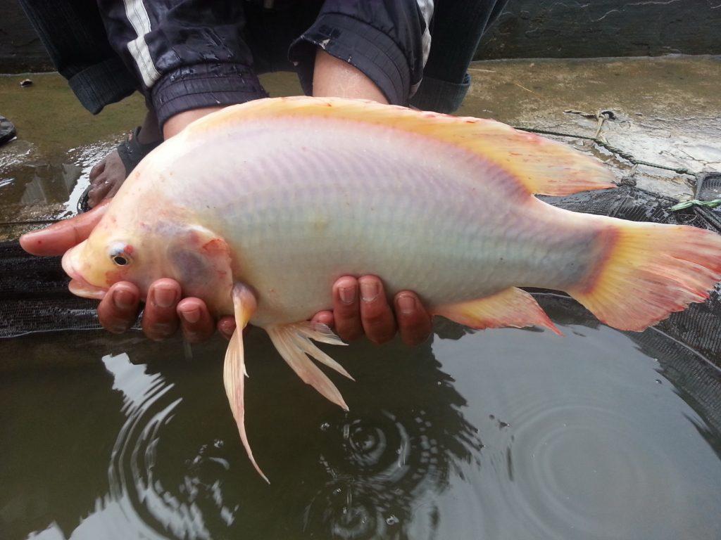 Nila Merah Bangkok