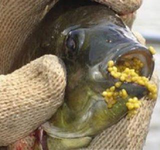 ikan nila unggulan